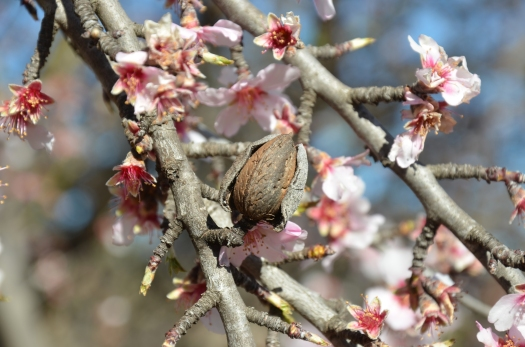 Almond-tree-blossoms-07